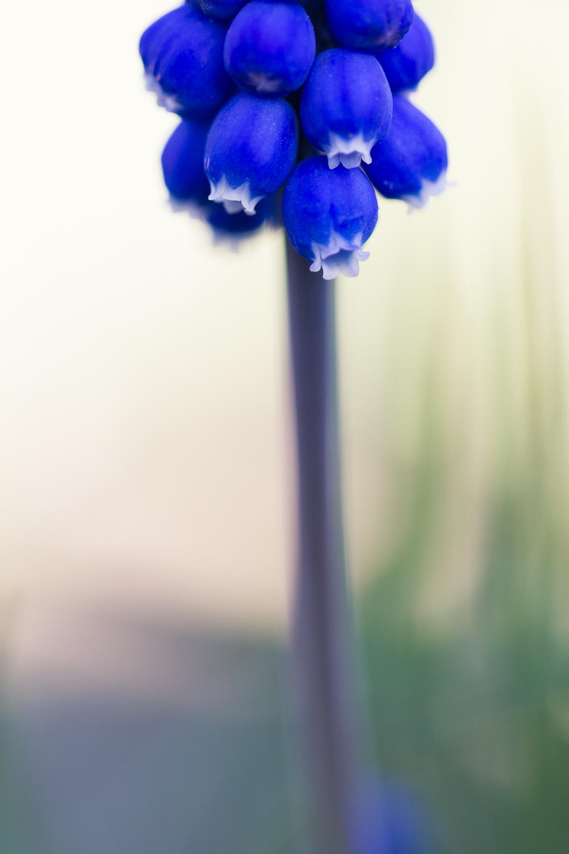 flower macro photography grape hyacinth - negative space