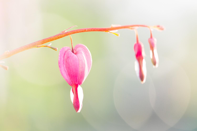 chụp macro bokeh hoa chảy máu tim - Các loại chiếu sáng