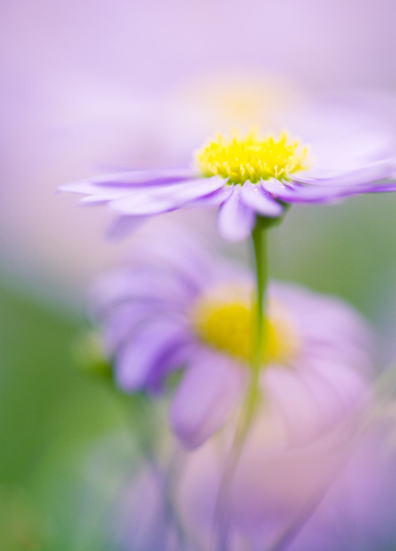 chụp macro bokeh hoa aster - Các loại chiếu sáng