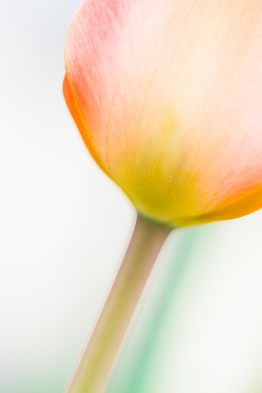 macro flower creamy bokeh photography tulip