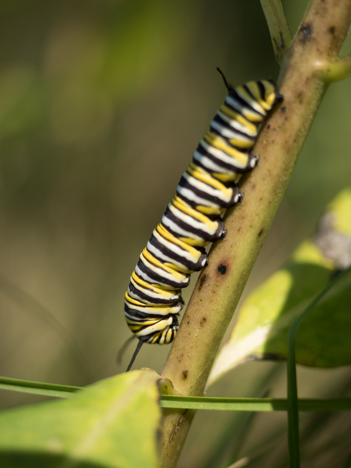 Micro four-thirds for wildlife - caterpillar