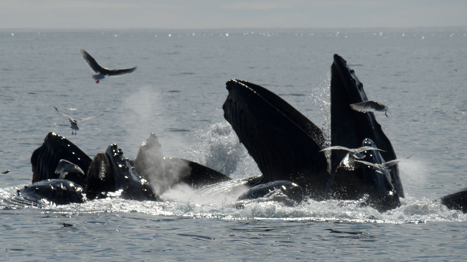 humpback whales - Pros and Cons of Using Micro Four-Thirds Cameras for Wildlife Photography