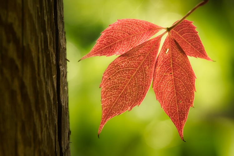 Image: The color of leaves really jumps out when they are backlit.