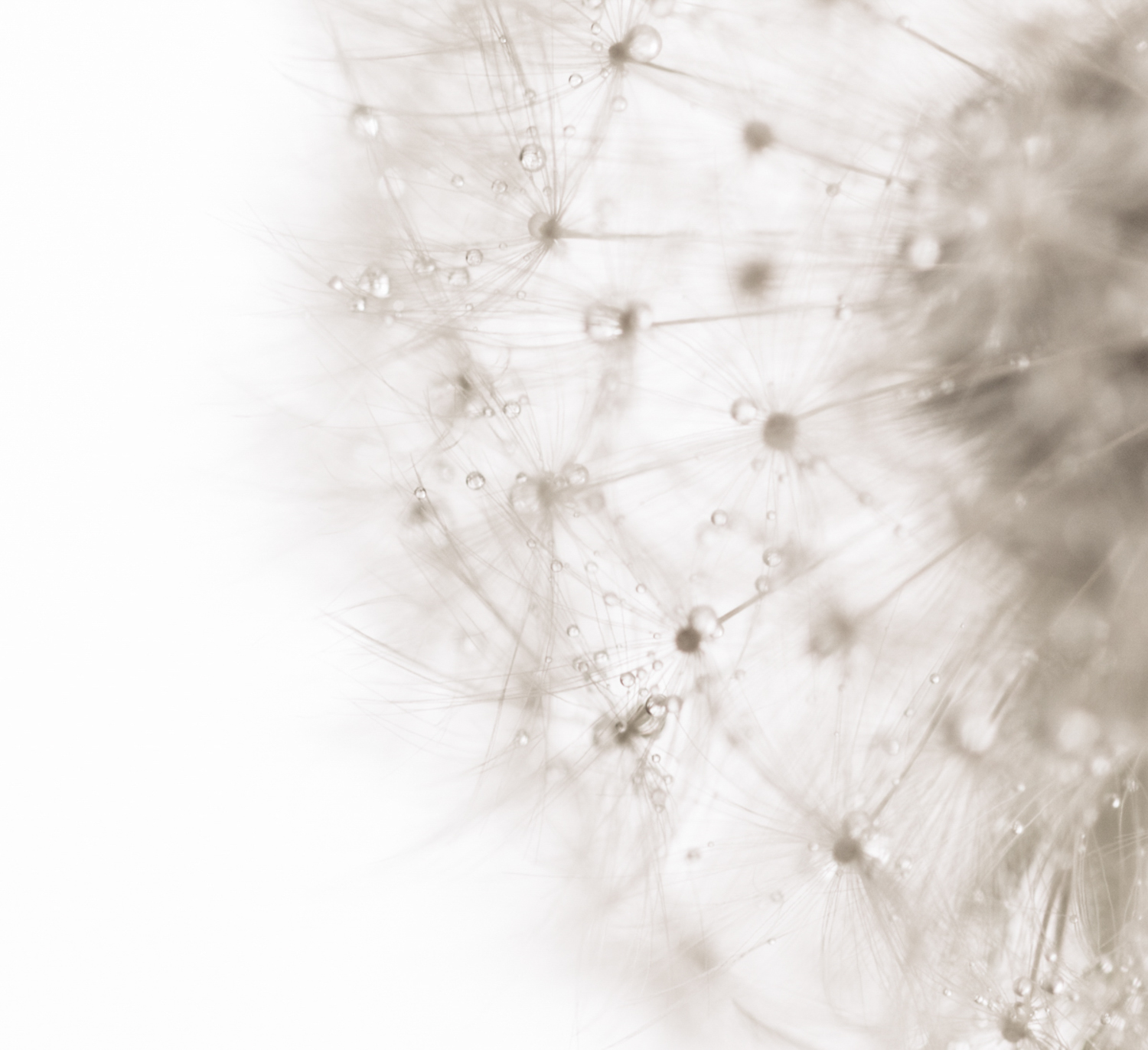 How Aesthetic Differs From Photographic Style And Why it Matters - macro shot dandelion