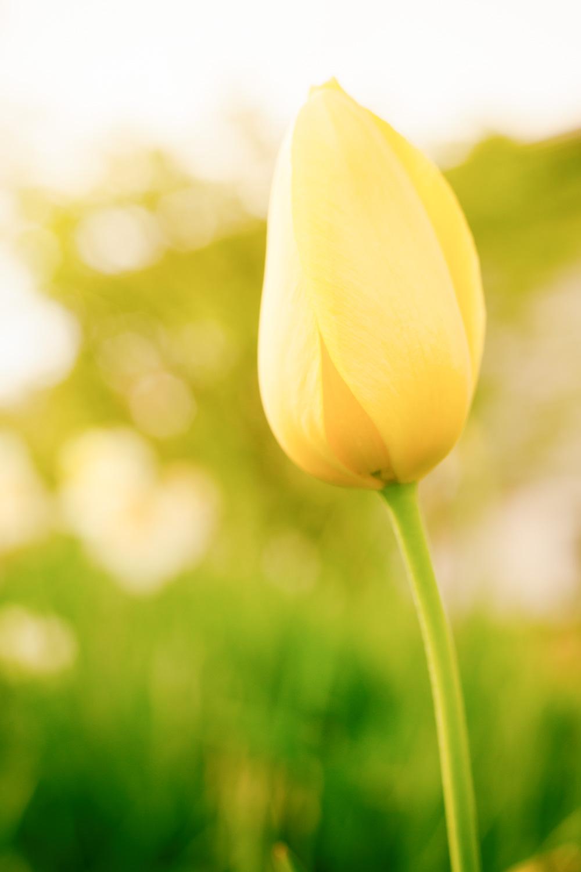 黄色郁金香 - 营造出明亮的外观
