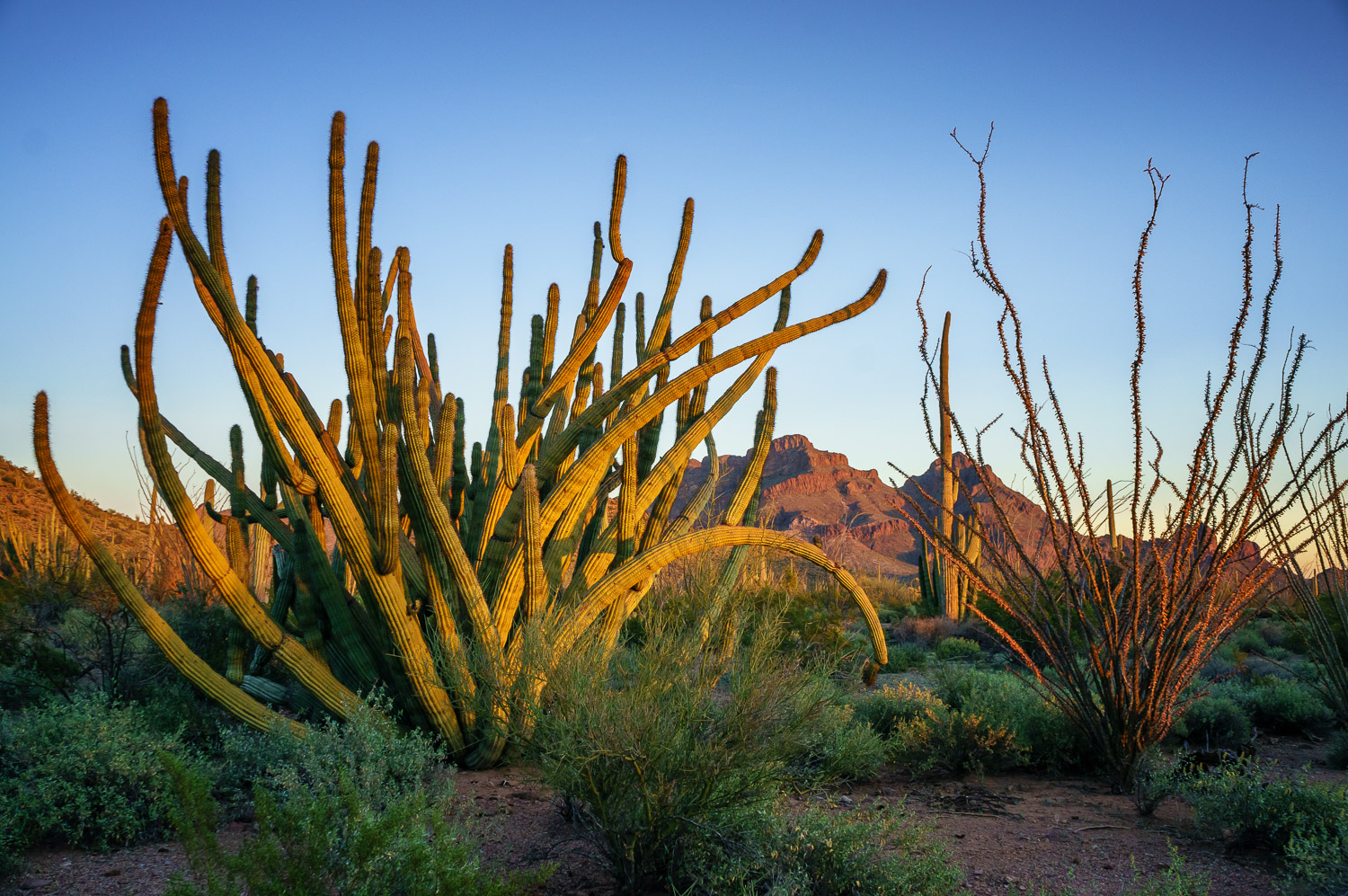 Organ Pipe Cactus - Beginner's Guide to Natural Light in Landscape Photography