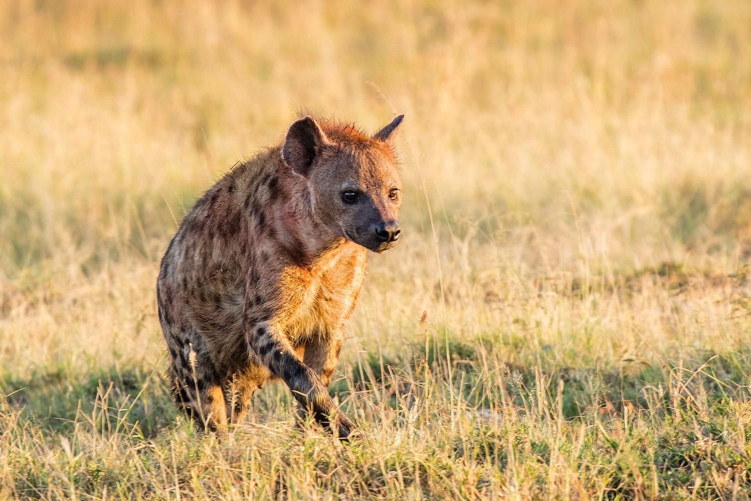 6 Tips to Capture Wildlife Photography with Impact - hyena