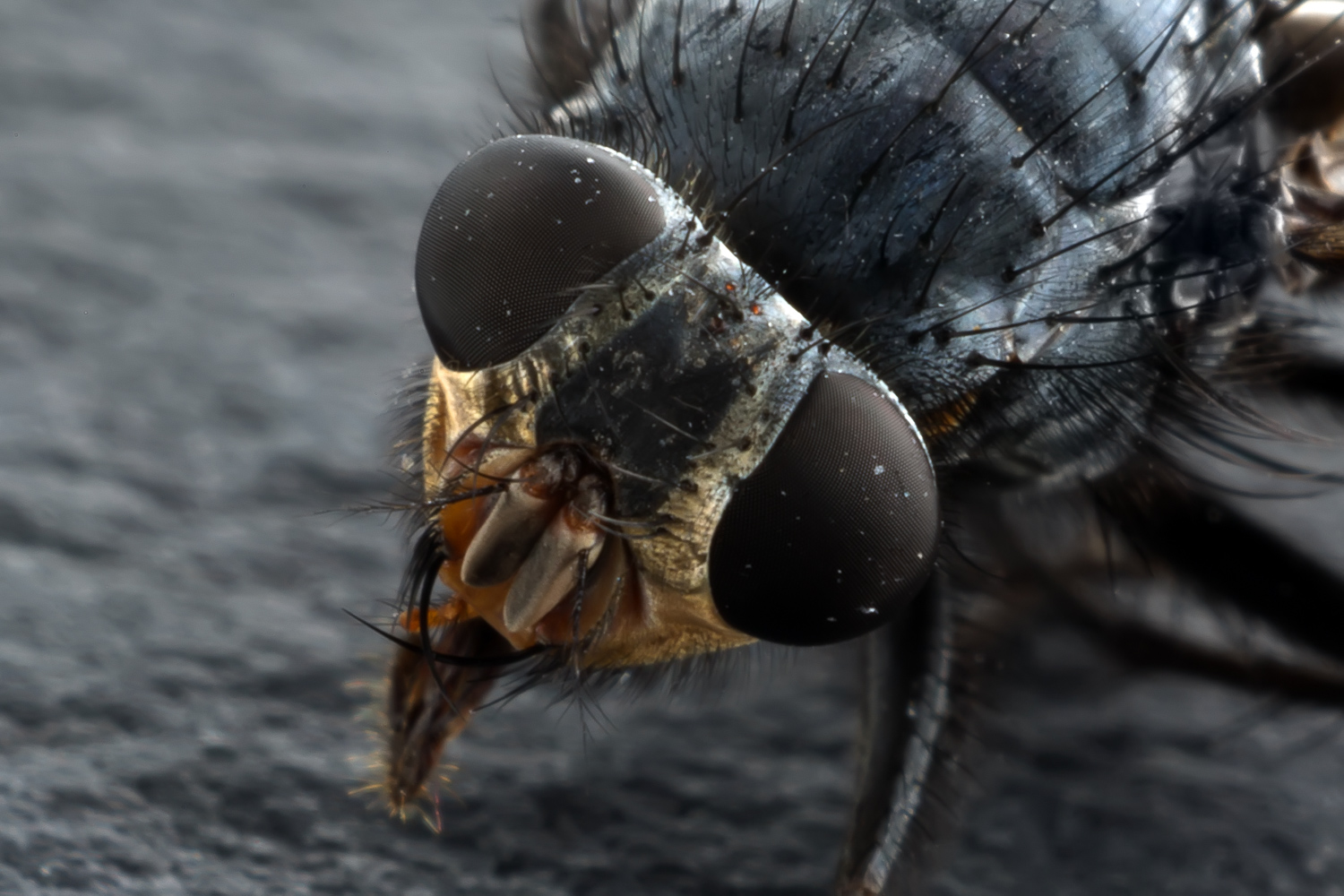 fly head extreme close-up - How to do Extreme Close-Up Photography with a Macro Bellows