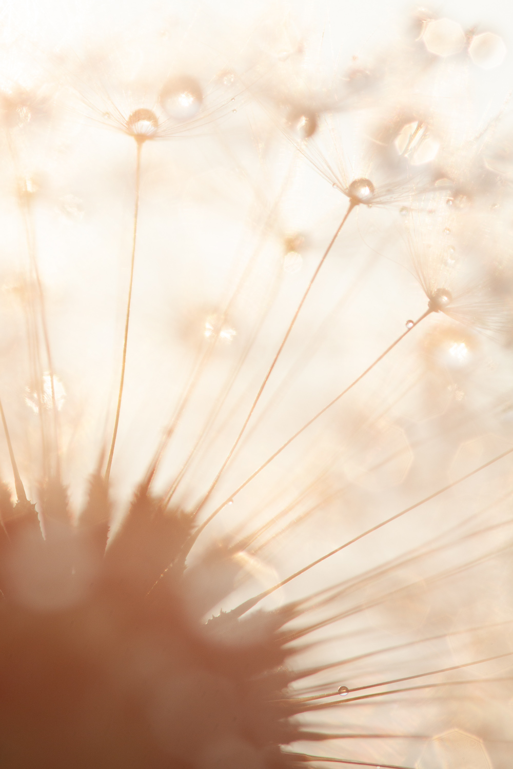 How to Use Backlight to Create Incredible Images - dandelion bright