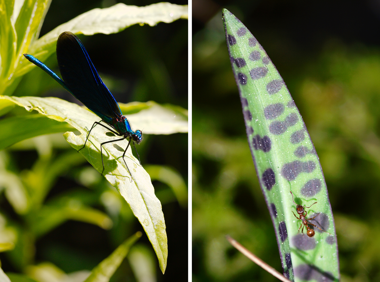 Damselfly and ant. Insect Photography Tips