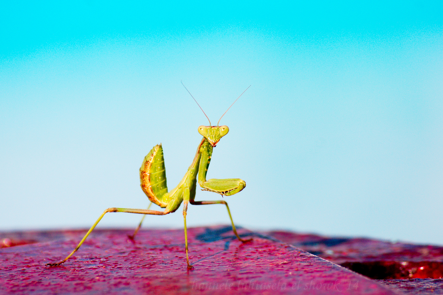 Mantis by swimming pool. Insect Photography Tips