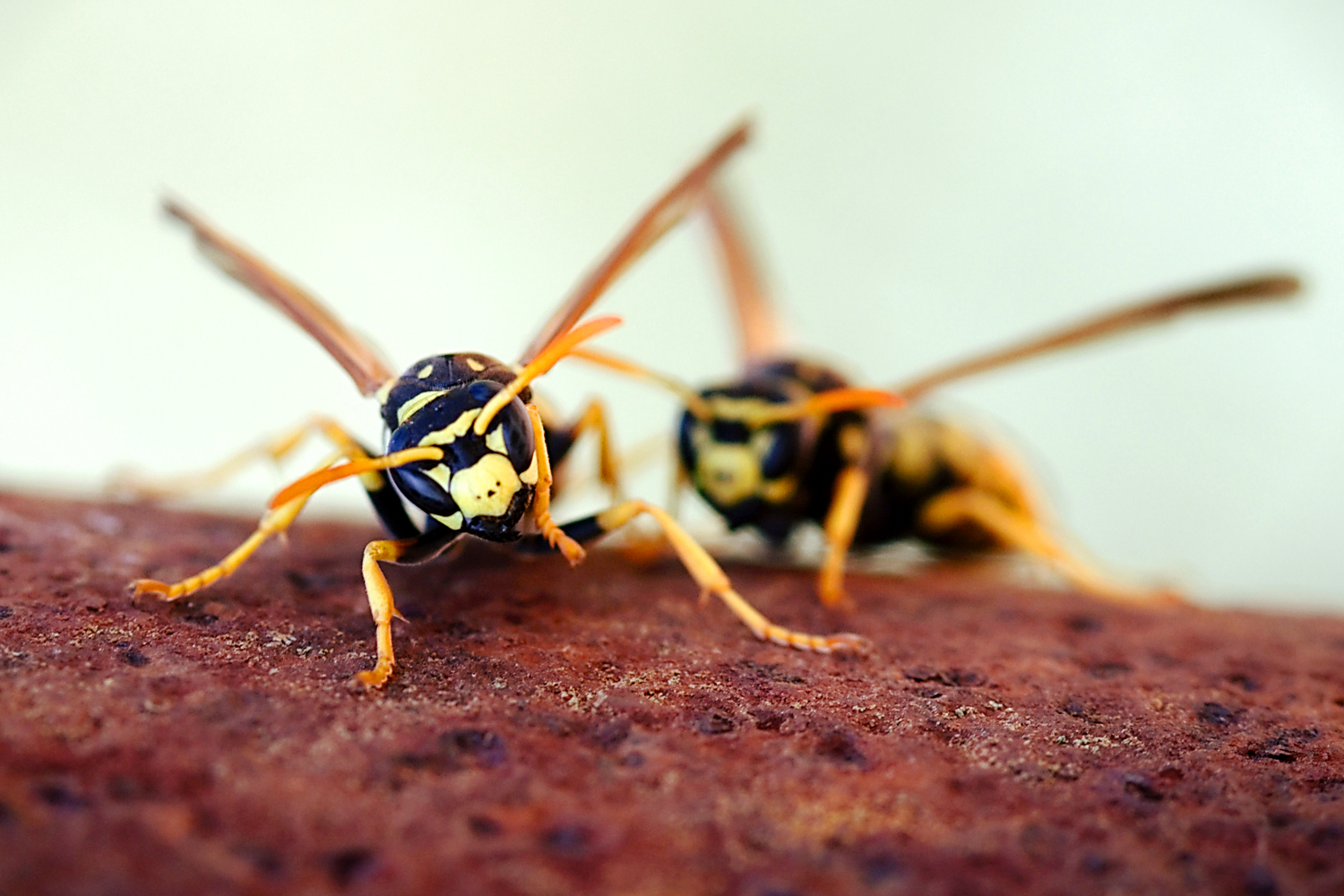 Wasps. Insect Photography Tips