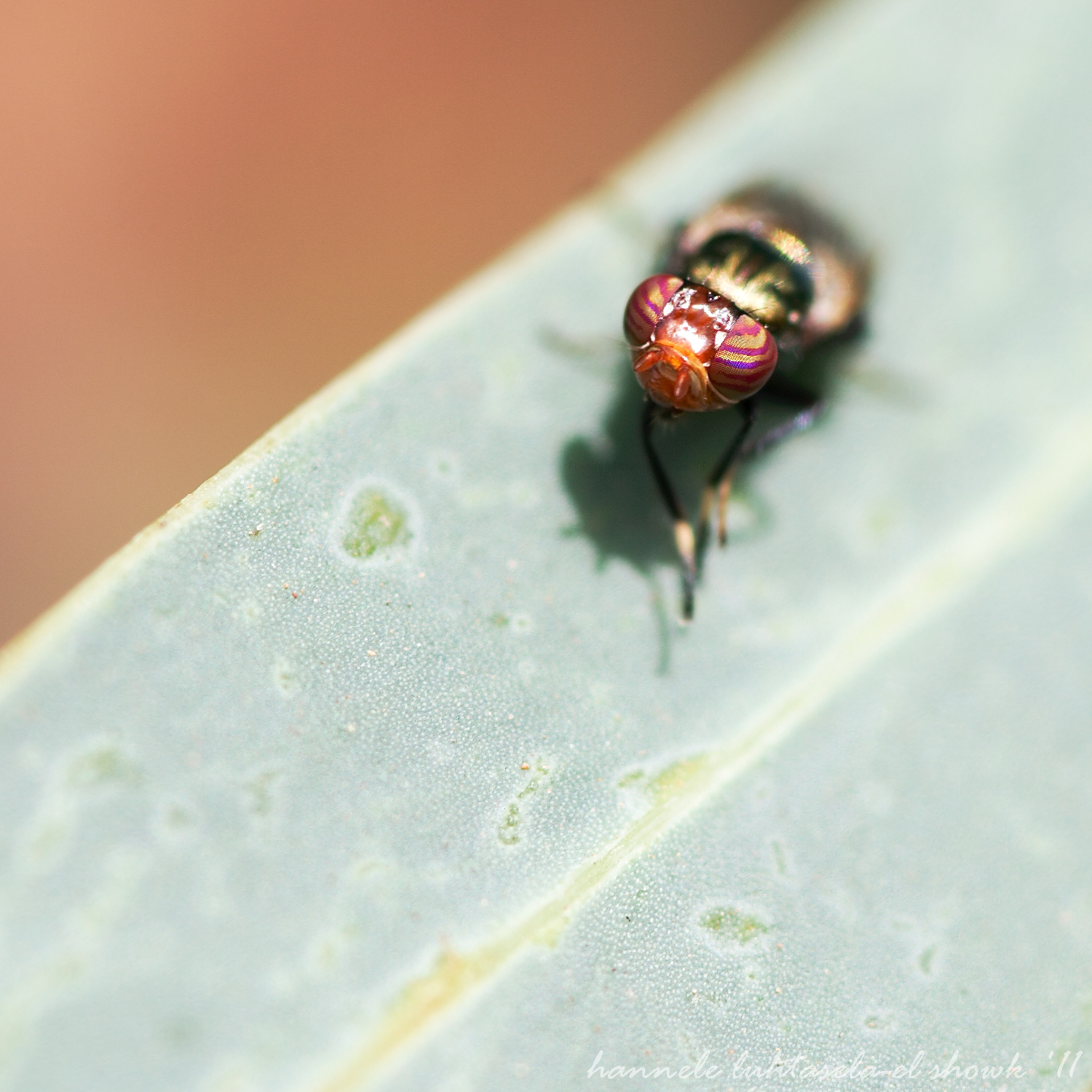 Fly with stripey eyes. Insect Photography Tips
