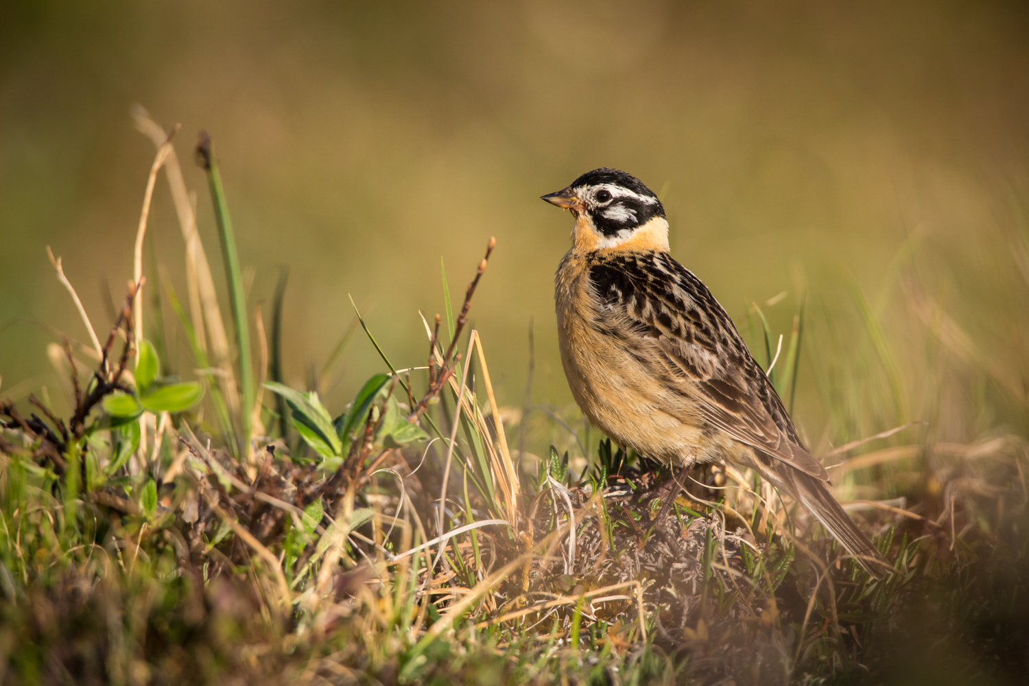Review of the Olympus 300mm F4 PRO Lens - bird in the grass