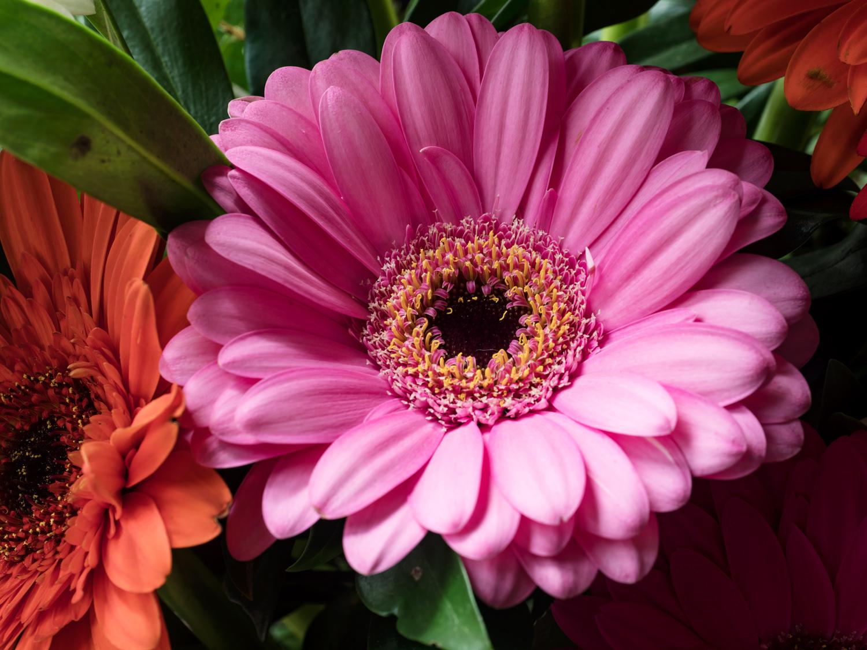 Sensor-Shift Technology - pink gerbera daisy