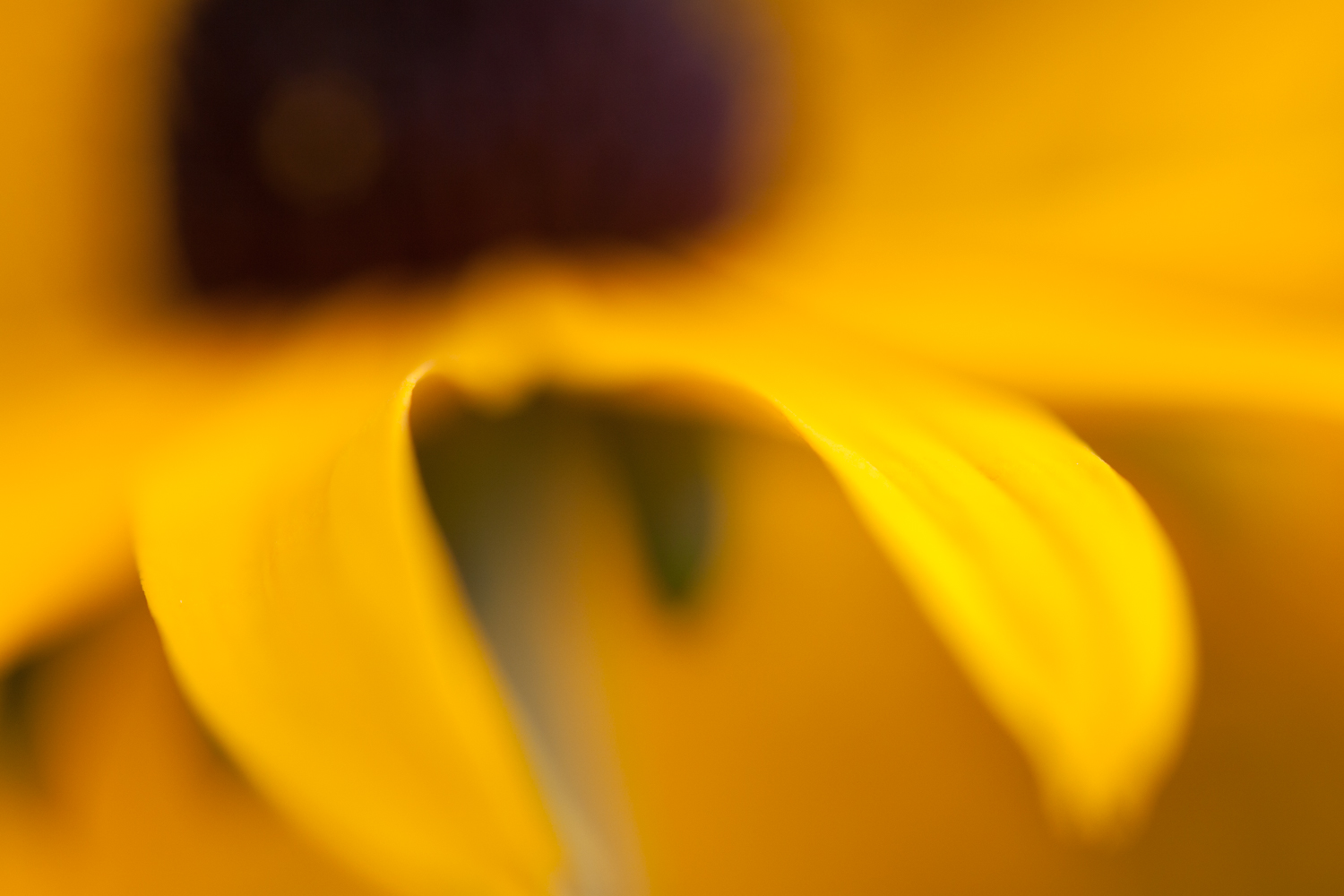 abstract flower photography black-eyed susan