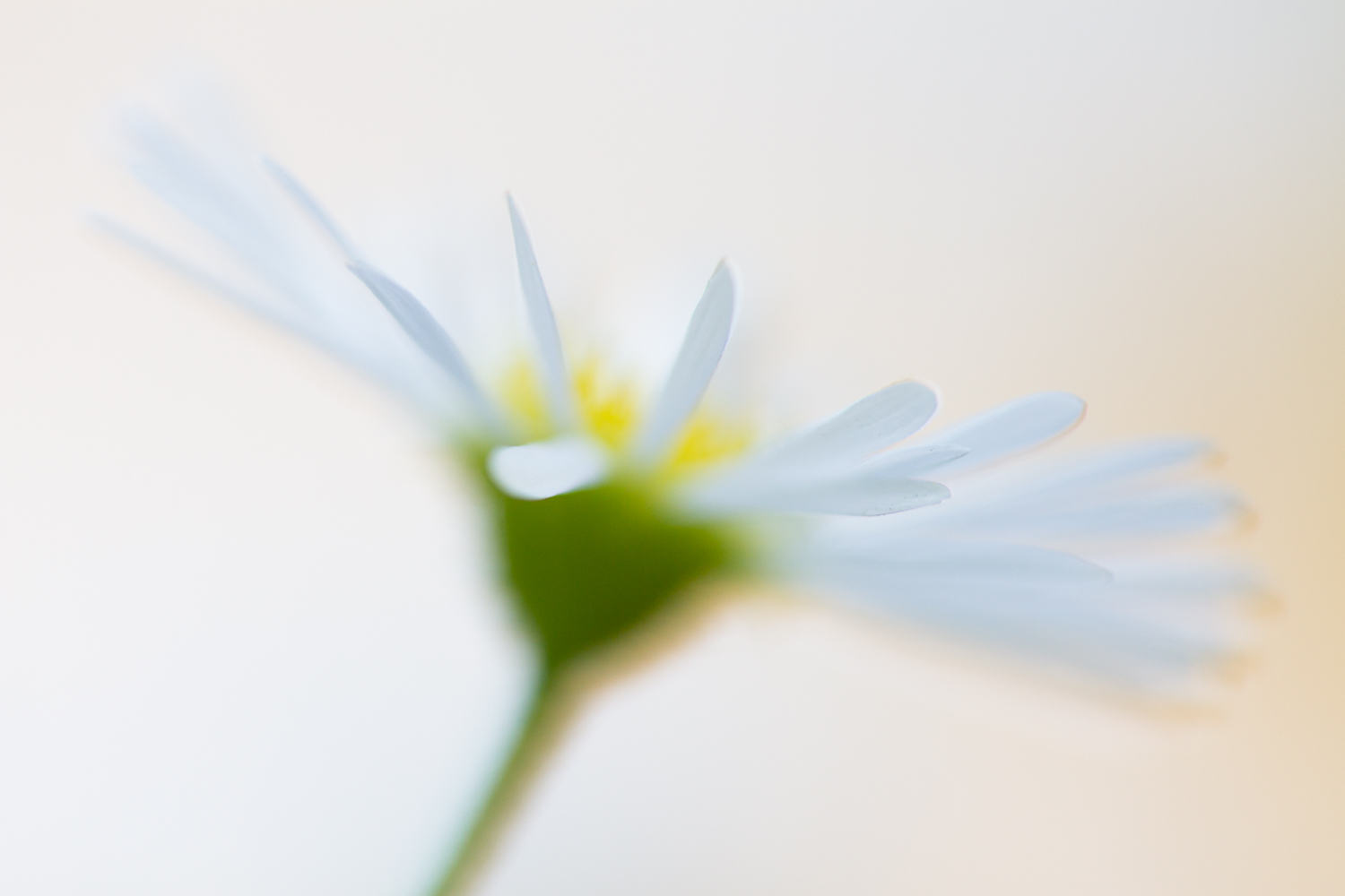 abstract flower photography aster
