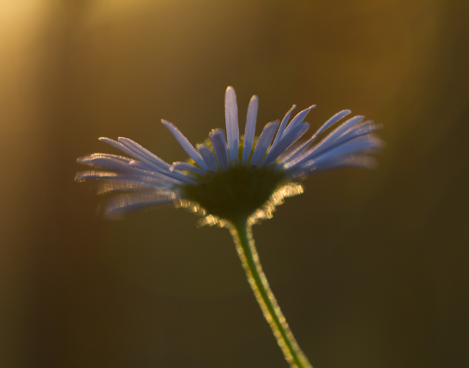 natural light macro aster backlight