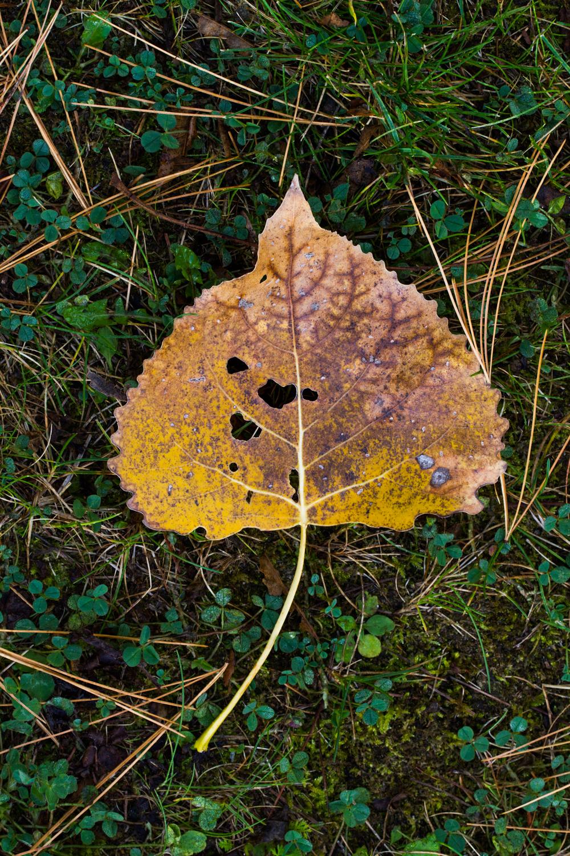 natural light macro birch leaf in clover
