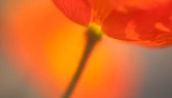 natural light macro poppy