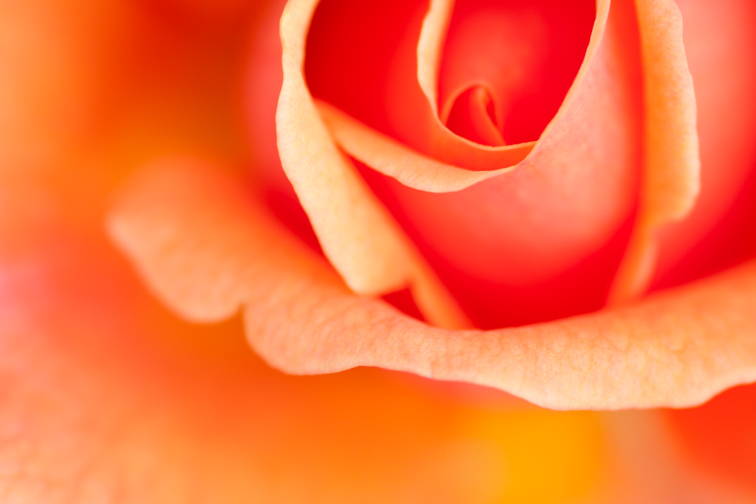 natural light macro rose abstract
