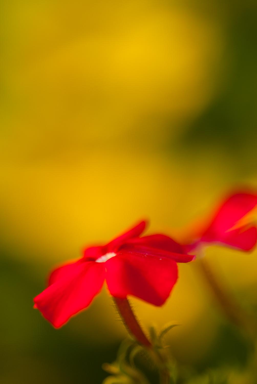 natural light macro red flower
