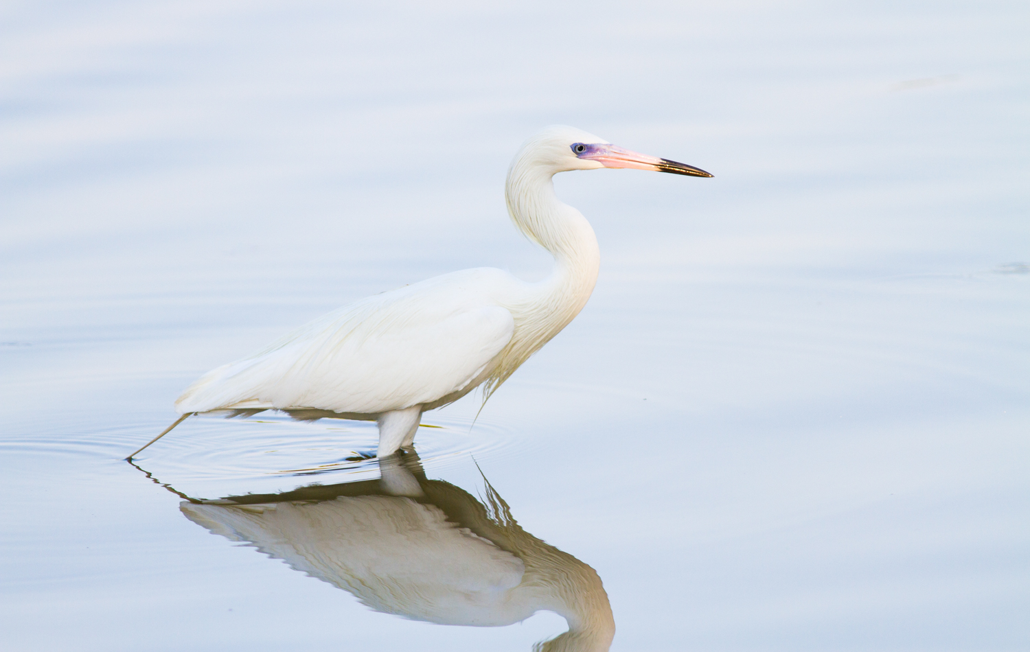 Photographing Handheld Without a Tripod - white-morph reddish egret
