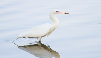 photography without tripod white-morph reddish egret