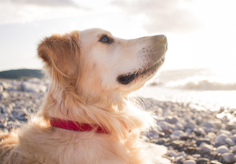 锋利的图像金毛猎犬