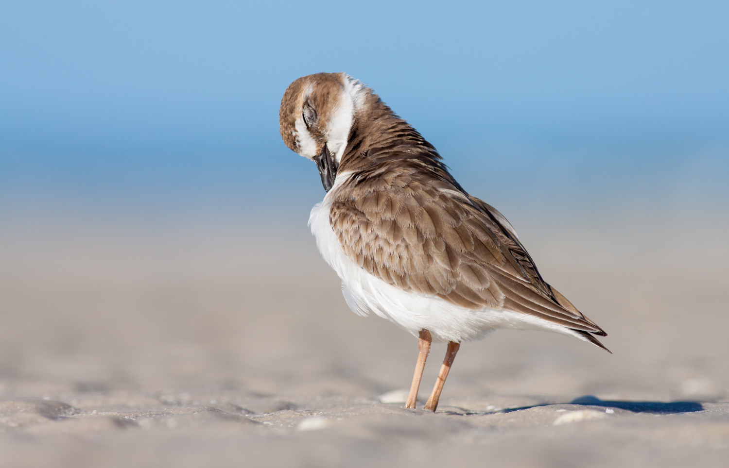 sharp images wilson's plover