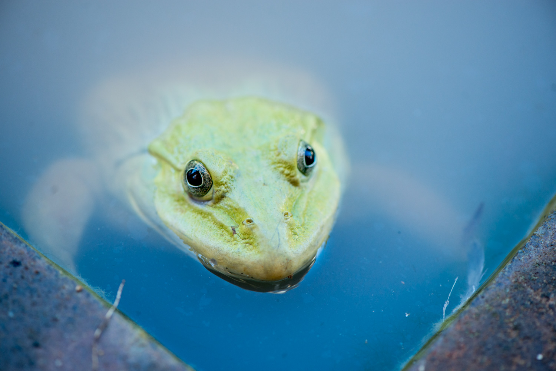 ©Kevin Landwer-Johan frog sitting the a pond close up