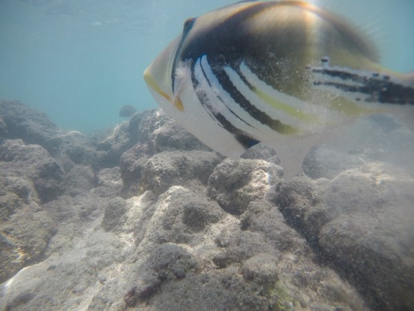 GoPro, Hero5, Underwater, Photography, Hawaii, Triggerfish