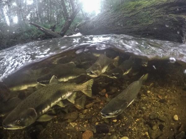 GoPro, Hero5, Underwater, Photography, Salmon, Alaska