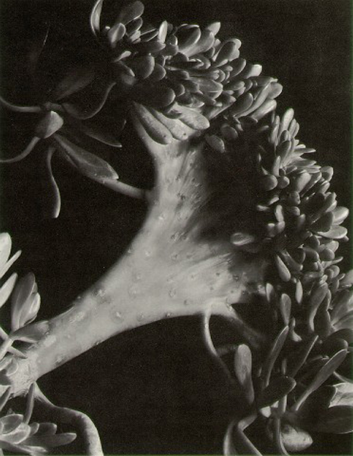 "Image: ""Succulent"" by Imogen Cunningham. Image courtesy of Wikimedia"