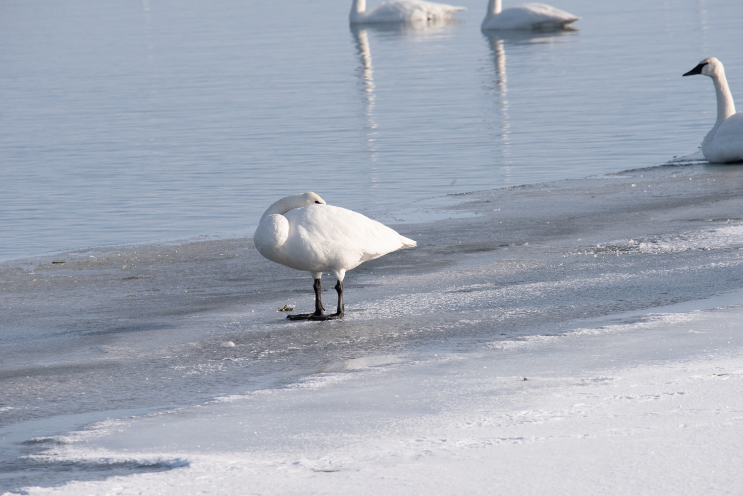 Image: This image of a Trumpeter Swan was captured at 600mm. I was able to isolate it from the group...