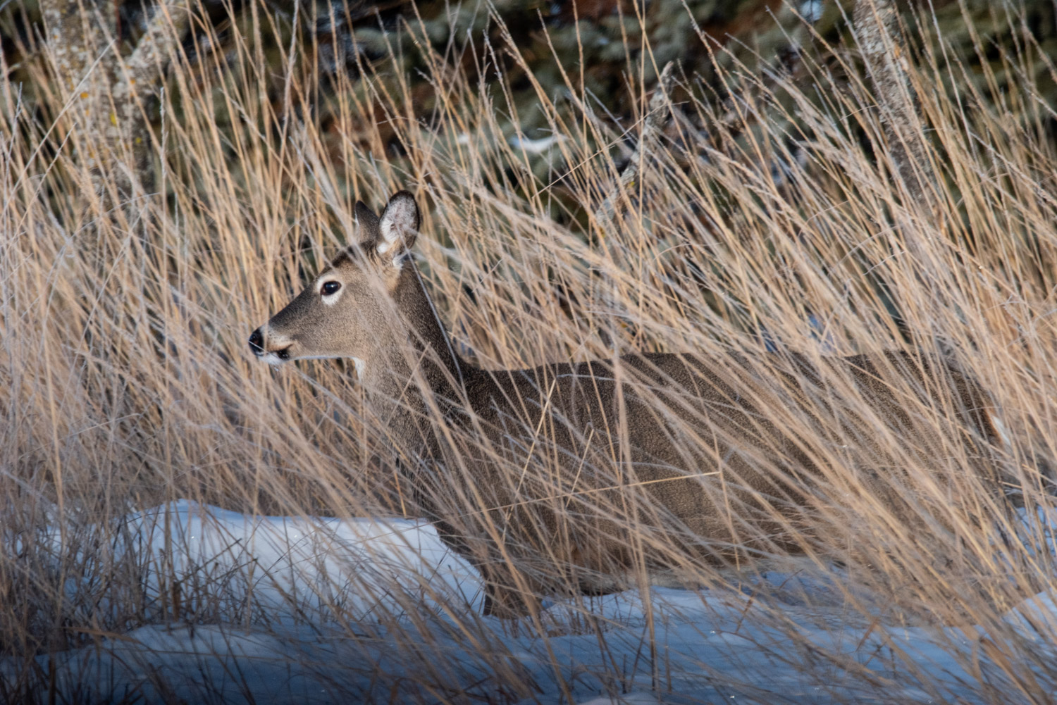Image: A White-tailed Deer walked through tall prairie grass in a native prairie restoration project...