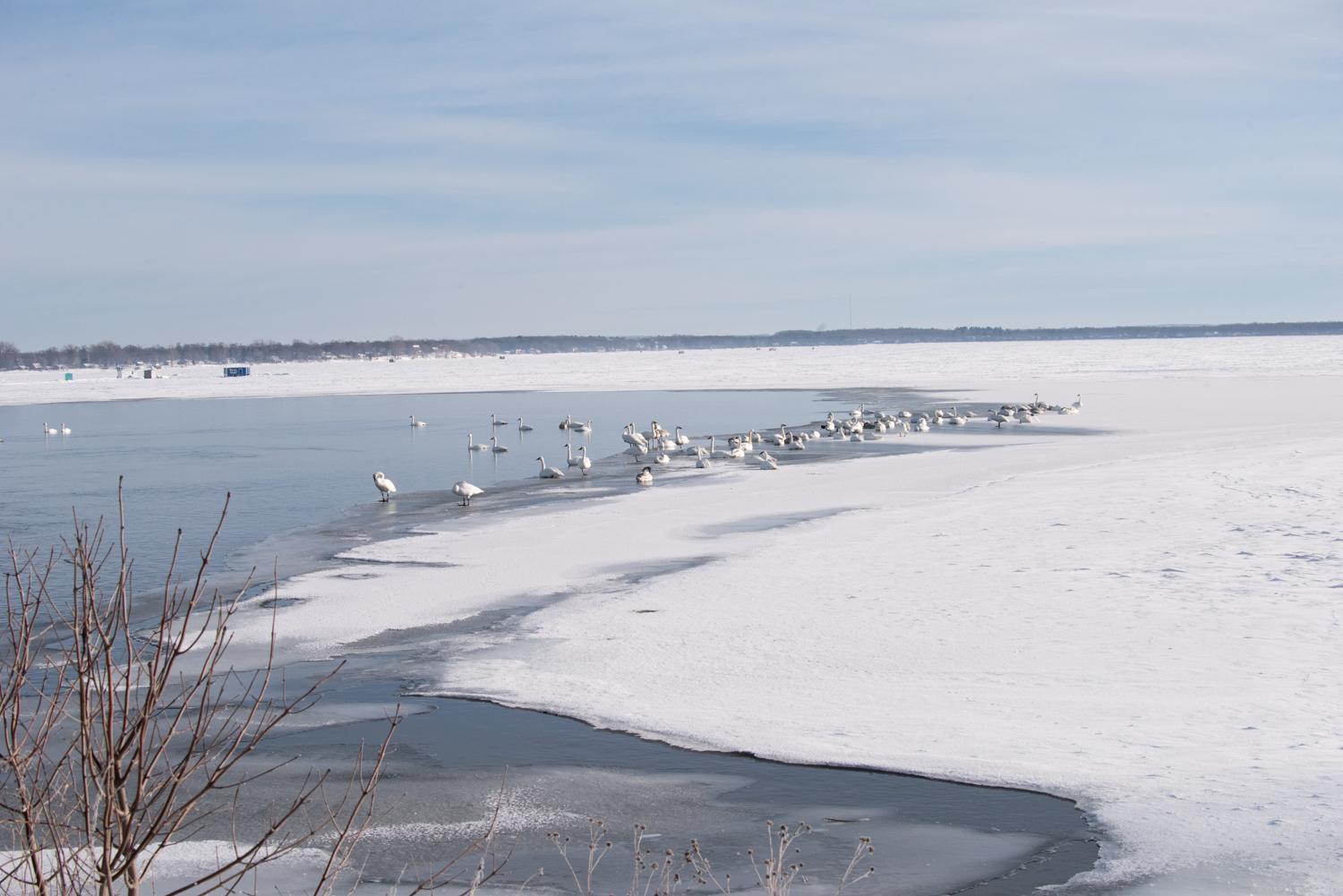 Image: This image of a group of Trumpeter Swans was taken at 60mm and are about 40 yards away. You c...