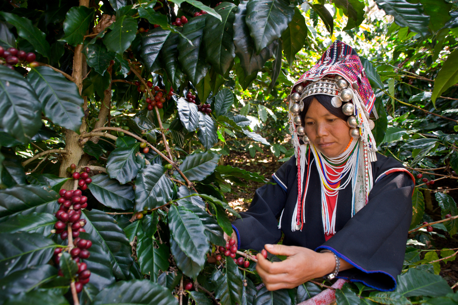 9 Tips for Better Environmental Portraits Akha Coffee Harvest