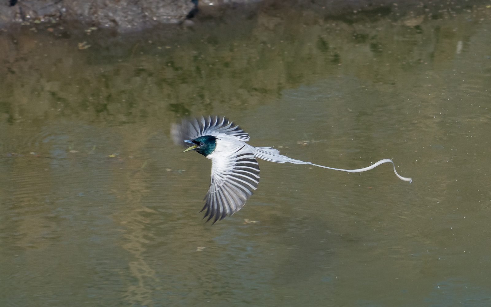 Image: Flight of fast-diving paradise flycatcher. Lens focussed on this fast-moving bird in good lig...