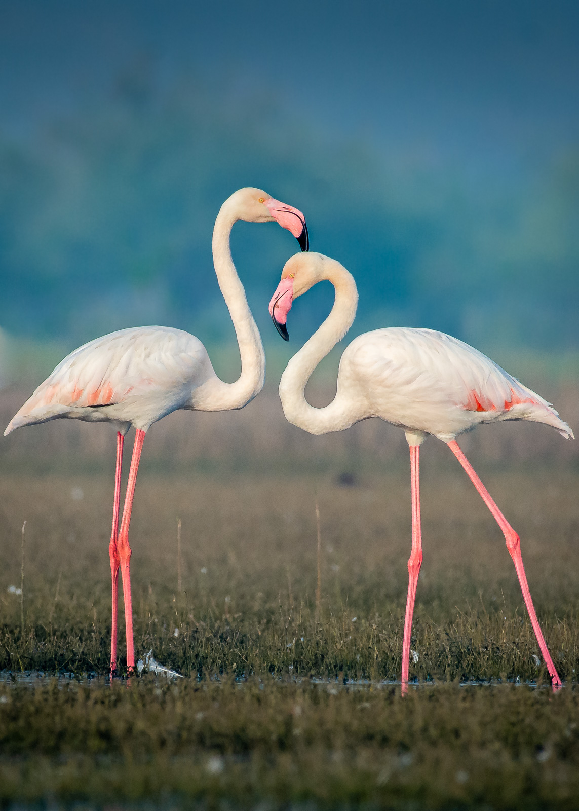 Image: Flamingos are very sensitive to a boat. Hence, I have to keep a good amount of distance from...