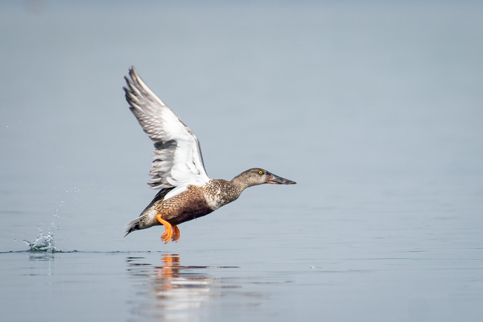 Image: Shoveler bird captured at f/5.6, sharpness at this aperture is great
