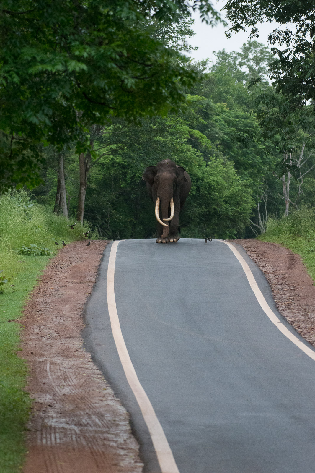 Image: Image of large-sized Elephant approaching from a distance of around 300ft (110 yards) at a fo...