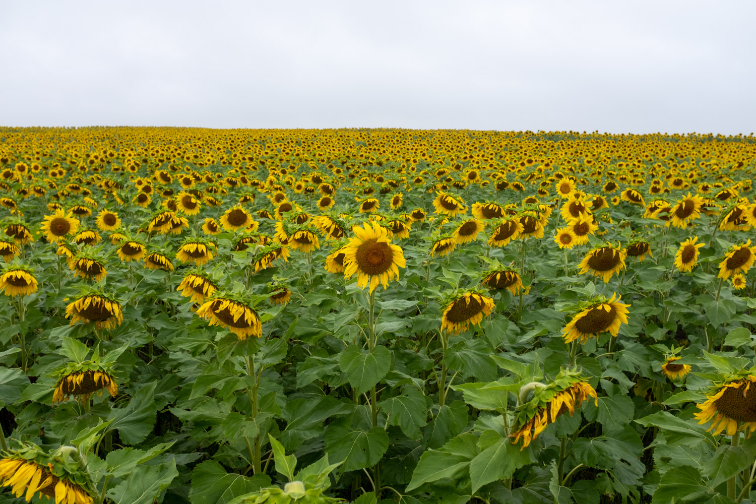 https://i2.wp.com/digital-photography-school.com/wp-content/uploads/2019/06/lightroom-landscape-tips-sunflowers-original.jpg?resize=1500%2C1000&ssl=1