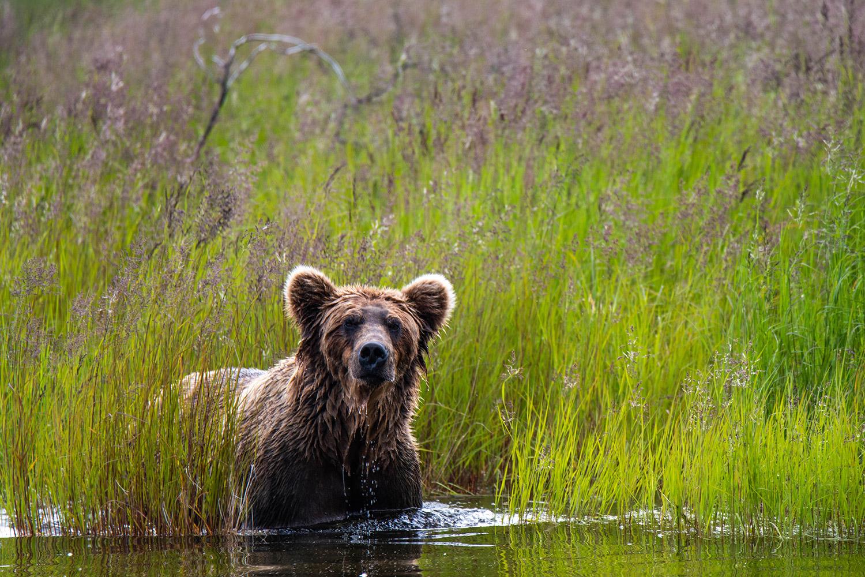 photographing-bears-in-alaska