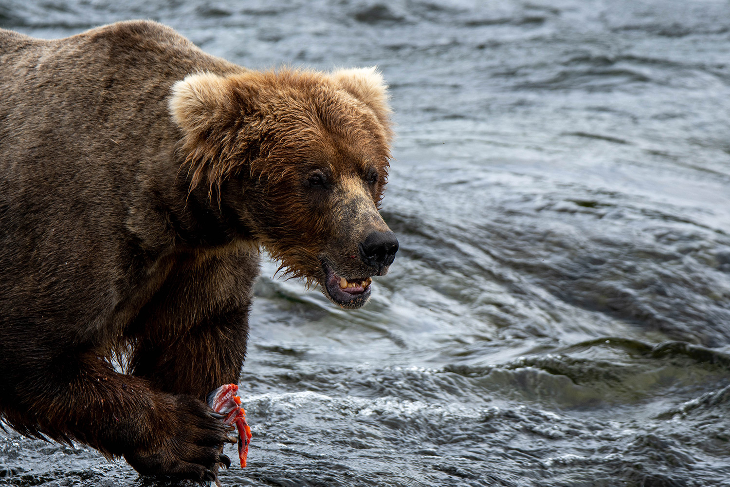 11 Tips for Photographing Bears in Alaska