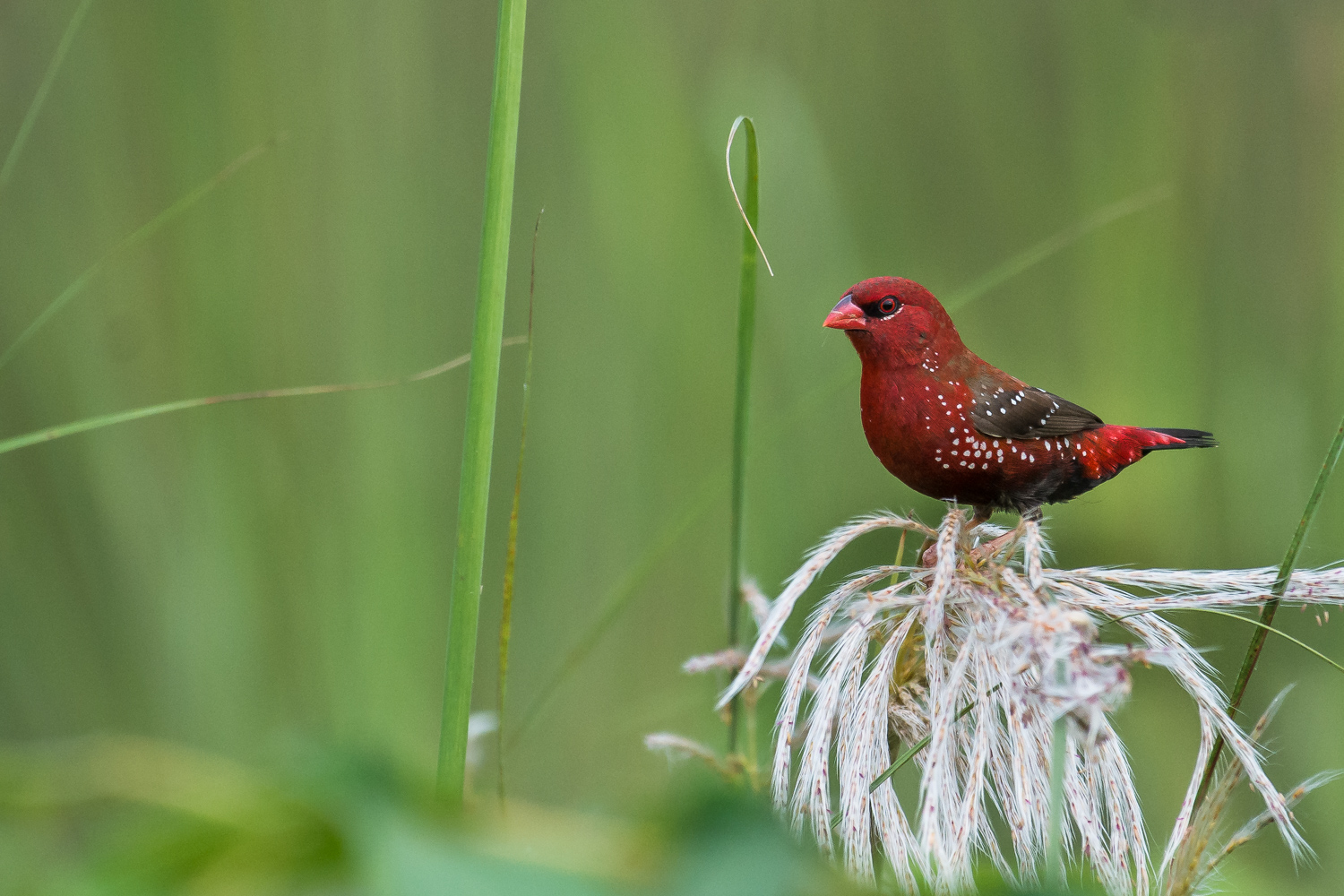 Image: Color Wheel – Red Munia bird against green grass