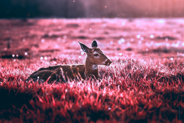 A resting deer in grass