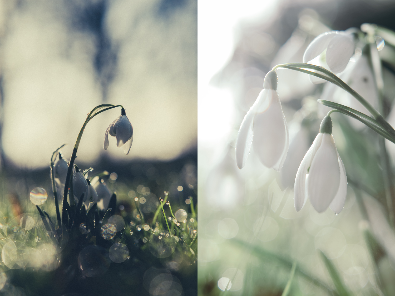 winter snowdrops