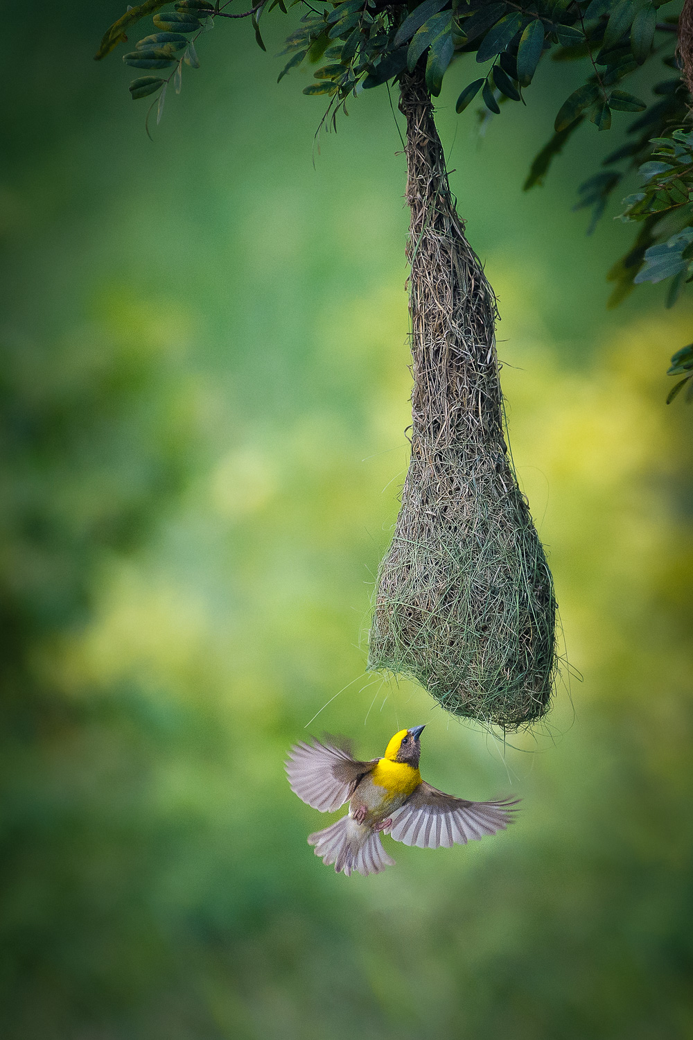 Baya Weaver Bird in flight