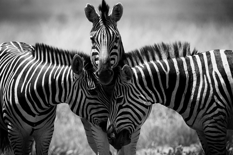Bruce Dorn photograph of 3 Zebras in Black and White